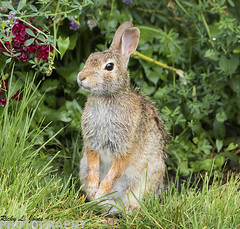Eastern Cottontail (Ricky L. Jones Photography) Tags: rabbit bunny nature wisconsin canon mammal midwest hare wildlife mammals naturephotography leporidae wildlifephotography teamcanon