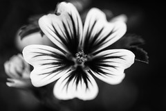 :: zebrina :: (mjcollins photography) Tags: macro monday black white flower zebrina vein trumpet bloom blossom summer garden hollyhock floral monochrome bokeh blackandwhite depth field organic pattern macromondayblackandwhiteflower depthoffield dof