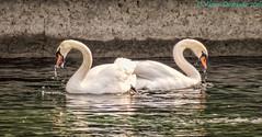 Imperfect Symmetry (vdwarkadas) Tags: water birds canon switzerland swan geneva swans lakegeneva canonsx50hs