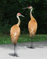 Beautiful posers (Laura Rowan) Tags: cranes sandhillcranes bird birding michigan kensingtonmetropark summer sunshine shadow posers