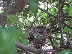 IMG_1205_Fotor01 (Ela's Zeichnungen und Fotografie) Tags: baby nest natur hannover tier vogel busch kcken