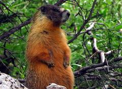 King Snaffle (Dru!) Tags: canada river rodent bc britishcolumbia marmot ashcroft thompson cachecreek yellowbelliedmarmot snafflehound cornwallhills oregonjack situpandbeg clearrange