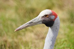 Brolga - a crane from Australia (stevelamb007) Tags: bird closeup nikon eyecontact crane australian brolga nikkor18200mm stevelamb d7200