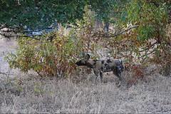 10075526 (wolfgangkaehler) Tags: africa nationalpark african wildlife predator zambia africanwilddog southernafrica predatory 2016 africanhuntingdog zambian southluangwanationalpark africanwilddoglycaonpictus