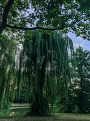 Trauerweide am Obersee, Berlin (BLN1989) Tags: berlin landschaft see park trauerweide