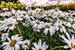 Oslo Botanical Garden (Tuomo Lindfors) Tags: norja norge norway oslo topazlabs adjust dxo filmpack botanicalgarden kasvitieteellinenpuutarha botaniskhage kukka flower shastadaisy isopivnkakkara kjempekrage pivnkakkara daisy