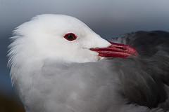 Heermann's Gull (markvcr) Tags: heermanns gull bird seabird