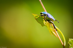 Hoplia coerulea (jeanpierre Pericaud) Tags: hopliacoerulea hopliebleue coléoptère corrèze caussecorrézien limousin bokeh