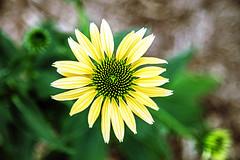 l't c'est si beau (morysept) Tags: fleur
