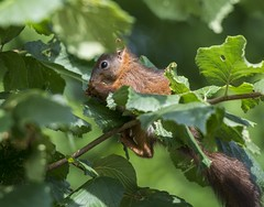 I love hazelnuts (hardy-gjK) Tags: eichhrnchen nsse haselnus strauch essen foot hazelnut squirrel shrub leaves bltter nikon snapeshot
