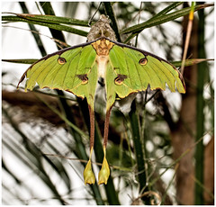 African Moon Moth (kevingrieve610) Tags: african moon moth insect butterfly moths natural history museum london nature