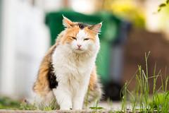 20160702-calico-cat-1 (Pamela Greer) Tags: 70200mmf28 calicocat cat cats