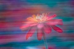 dynamic flower (SonjaS.) Tags: blumen sommer dynamisch bewegt flower pink farben colors summer
