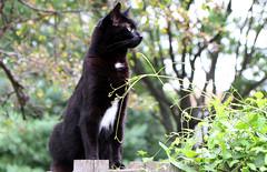 My kitten turns 10 (Kerri Lee Smith) Tags: black blackcats cats felines kitties birthday fence summer grass dof blackandwhitecats ella