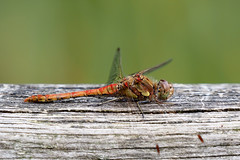 Common Darter....... (klythawk) Tags: commondarter sympetrumstriolatum male dragonfly wood handrail nature summer green brown orange yellow grey black white olympus em1 omd 100400mm panasonic claypitnaturereserve wildlifetrust sssi wilford nottingham klythawk