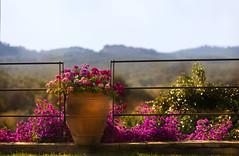 Pot hot spot!  HFF! (Photography by Julia Martin) Tags: photographybyjuliamartin fencefriday fence flowersinapot bougainvillea