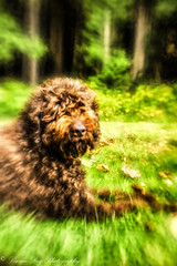bamse-17 (Sitch2) Tags: shotwideopenplasticopticcomposerprolensbaby bestfriend loyal brown labradoodle forest dog