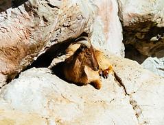 Mountain goat (VirtualWolf) Tags: animal australia canonef135mmf2lusm canoneos7d equipment mammal mosman mountaingoat newsouthwales places sydney tarongazoo wildlife