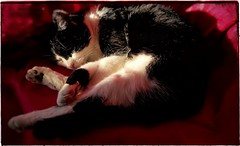 It's been a busy day (Snappergus) Tags: black white blackandwhite cat puss mog pussy moggy tux tuxedo blackandwhitecat