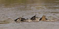 Crocodile Attacking Third Wildebeest While Crossing the Mara River (John Hallam Images) Tags: crocodile attacking wildebeest third crossing mara river masaimara kenya safari