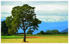 Alone  Nicola Roggero (Nicola Roggero) Tags: tree alps nikon d5300 nature alone nicolaroggero bird landscape land tierra albero orizzonte