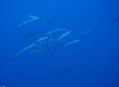 P9260219 (juredel) Tags: juredel merou becon olympus corse corsica méditéranée mediteranneansea blue fish poisson banc omd em5 oxy oxygene wall wallpaper