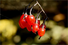 red berries......... (atsjebosma) Tags: macro autumn bokeh herfst besjes rood red atsjebosma lauwersmeer thenetherlands nederland september 2016 spinragjes ngc