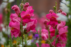 Flower (Infomastern) Tags: ystad blomma flower
