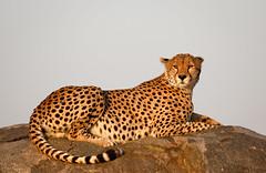 Cheetah in Morning Light (David Ramirez Photography) Tags: africa kopje serengetinorth tanzania cheetah serengeti morninglight