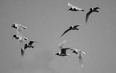 Gabbiani in volo disordinato (Nicola Franzoso Naio) Tags: bird canon blackandwhite monocrom fly 550d sigma 150500mm animal veneto