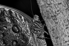 Caligo atreus B&W (Nemodus photos) Tags: fz1000 caligoatreus butterfly papillon blackandwhite noiretblanc