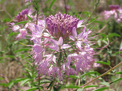 Rocky Mountain bee plant (Cleome serrulata) flowers (tigerbeatlefreak) Tags: rocky mountain bee plant cleome serrulata flower nebraska