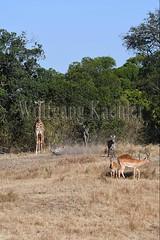 10077419 (wolfgangkaehler) Tags: 2016africa african eastafrica eastafrican kenya kenyan masaimara masaimarakenya masaimaranationalreserve wildlife masaigiraffe masaigiraffegiraffacamelopardalis masaigiraffegiraffacamelopardalistippelskirchi giraffe giraffes impalaaepycerosmelampus impalas antelope antelopes zebras plainszebrasequusquagga burchellszebra burchellszebraequusquagga burchellszebras