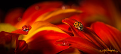ladybug (skeem125) Tags: waterdrops ladybug insects red flowers nature bokeh nikon focusstacking drops creative focus fineart unique