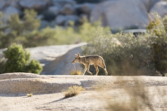 Coyote at Hidden Valley Campground (Joshua Tree National Park) Tags: joshuatree nationalpark california desert coyote hiddenvalleycampground keepwildlifewild mammal