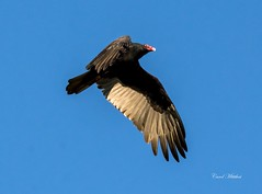 Vulture (Carol Matthai Photography) Tags: vulture inflight flying wildlife bird