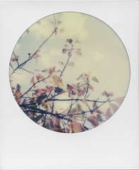 The colour is now ('roid week Fall 2016 - 03) (ale2000) Tags: roidweek instant impossible i1 roundframe round roidweek2016 roidweek2016falledition polaroidweek fall autumn autunno foliage leaves foglie giallo yellow orange arancio arancione