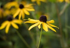 Goldsturm (shawnraisin d+p) Tags: fujifilmxt10 plant shawnwhite bokeh colours floral flower garden green harmonious mood restful romantic solitude tranquil yellow rudbeckia fulgida goldstrum sullivanti