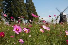 Cosmos (mensore) Tags:  cosmos  asteraceae flower plant landsape autumn