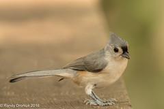 Tufted Titmouse (rdroniuk) Tags: birds passerines smallbirds tuftedtitmouse baeolophusbicolor oiseaux passereaux msangebicolore