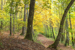 October forest (Francesco Ganzetti) Tags: fall leaves yellow colors composition nature focus forest trees bokeh tomioka 55mm f1 moody atmosphere beautiful