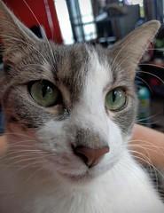 2016- Violet 06 (teresamarkos) Tags: cat cats kitten kittens felines feline