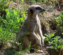 Zoo Ffm Erdmnnchen (Suricata suricatta) P1020124 (martinfritzlar) Tags: zoo frankfurt tier sugetier raubtier manguste erdmnnchen herpestidae suricata suricatta meerkat