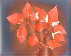 Ponsettia lumen print (julesnene) Tags: plant flower art photo poinsettia photogram sunprint lumen euphorbiapulcherrima julesnene juliasumangil forteelegancepolywarmtonefb