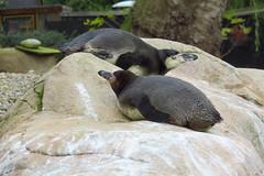 London: London Zoo (kevin.hackert) Tags: uk england london tiere unitedkingdom hauptstadt sightseeing pinguin londonzoo metropole vereinigtesknigreich millionenstadt grosbritannien