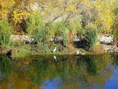 LA River Crane (See El Photo) Tags: california ca city blue orange white color colour reflection green bird fall nature wet water yellow cali digital river outside flow outdoors la photo losangeles colorful warm day colore crane flight deep sunny daytime flowing couleur mothernature niceday seeelphoto chrislaskaris
