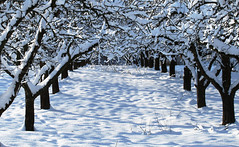 Avenue of the snowy Apple Trees (Habub3) Tags: schnee winter snow tree apple canon germany deutschland powershot apfelbaum g12 2015 habub3