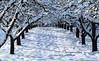 Avenue of the snowy Apple Trees (Habub3) Tags: schnee winter snow tree apple canon germany deutschland powershot apfelbaum g12 2015 habub3