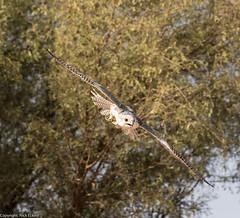 8Q2A1267_DxO (maskirovka77) Tags: dubai desert hunting beak raptor owl falcon hood sharjah unitedarabemirates falcons raptors avian barnowl hunt birdsofprey lure birdofprey falconry talons natureconservancy stooping falconeer peregrinefalcon gyrfalcon pergrine falconexperience alshuwaib arabiandeserteagleowl royalshaheen clawsarabiandeserteagleowldubainatureconservancypergrineraptorsroyalshaheenbirdofpreybirdsofpreyfalconfalconexperiencefalconsowlraptoralshuwaibsharjahunitedarabemirates