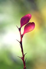 Rainbow bush (GinelliGino) Tags: pink red colour green painting leaf rainbow stem purple bokeh bare double minimal lilac single watercolour mauve spike thorn simple impression minimum technicolour canonef100mmf28macro sillito